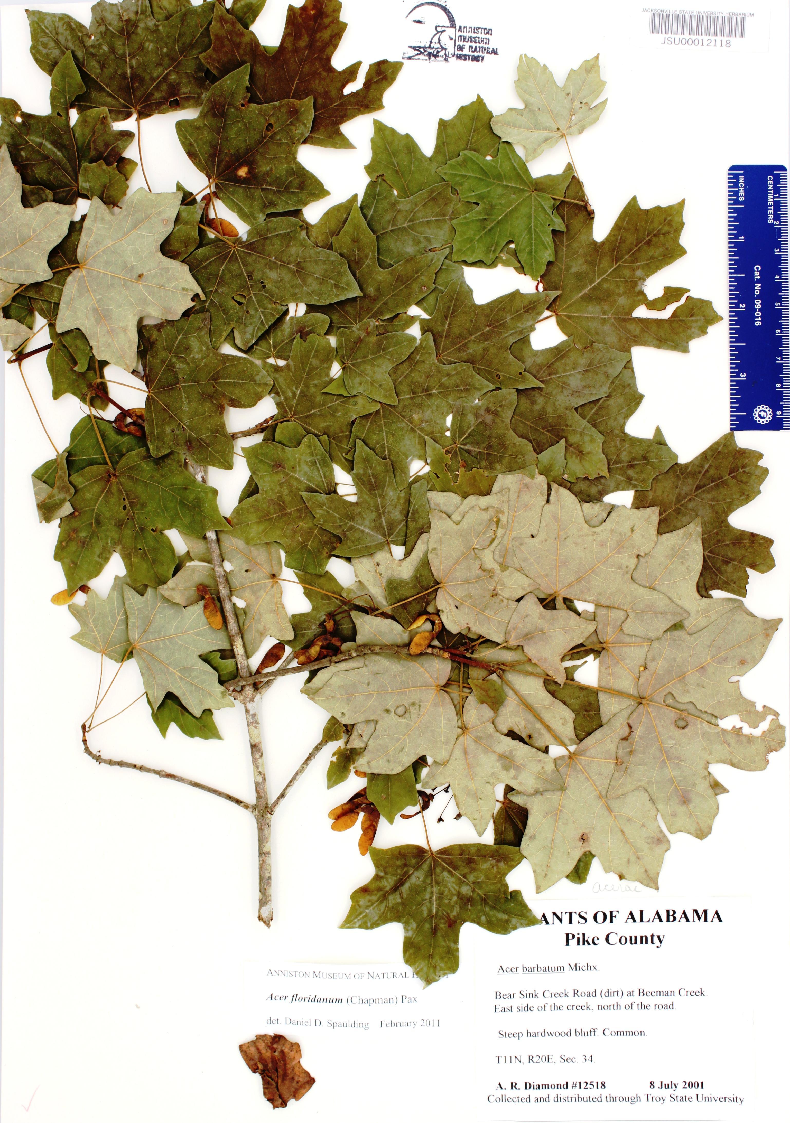 Acer Floridanum Species Page Apa Alabama Plant Atlas