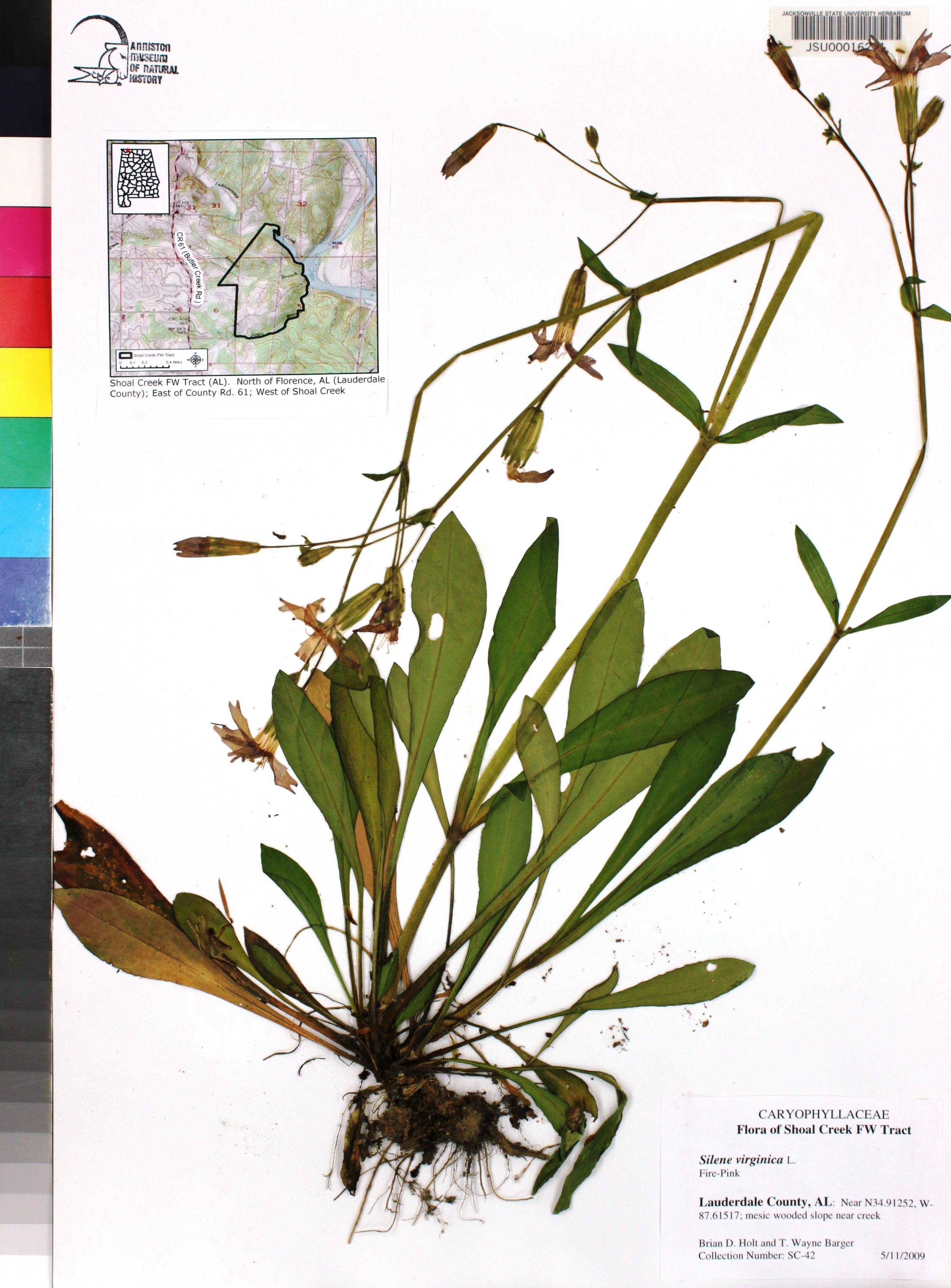Silene Virginica Species Page Apa Alabama Plant Atlas