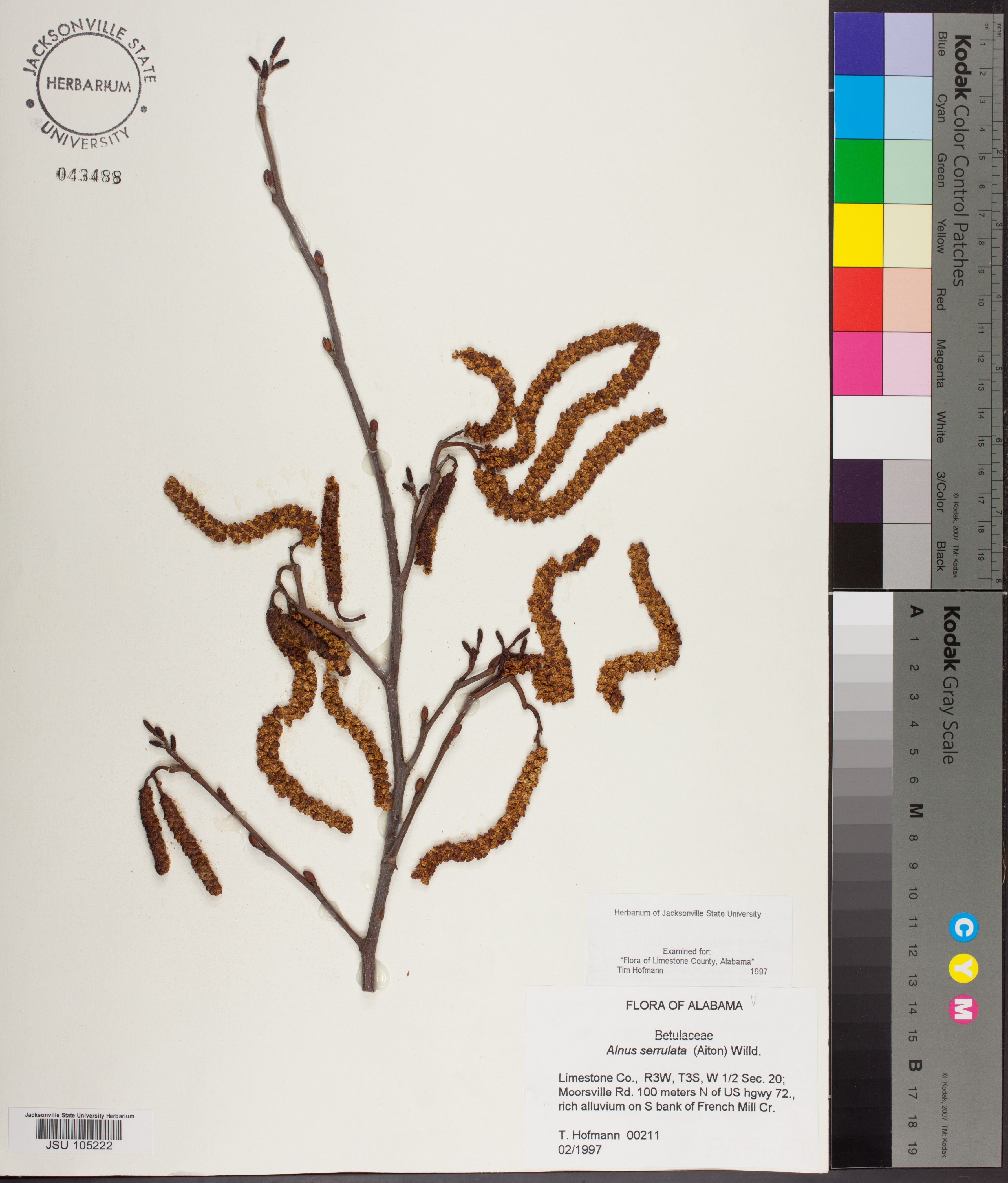 Alnus Serrulata Species Page Apa Alabama Plant Atlas