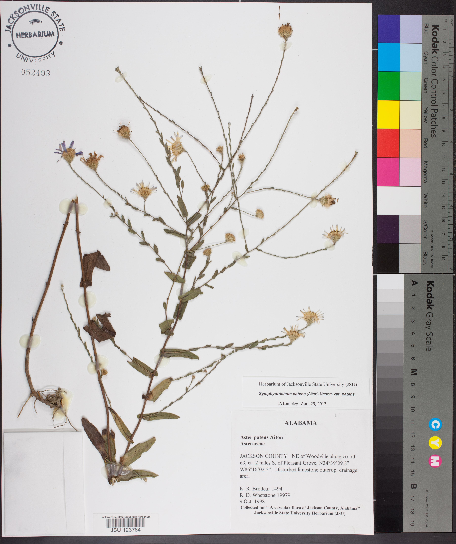 59fa35c5a765 Symphyotrichum patens - Species Page - APA  Alabama Plant Atlas