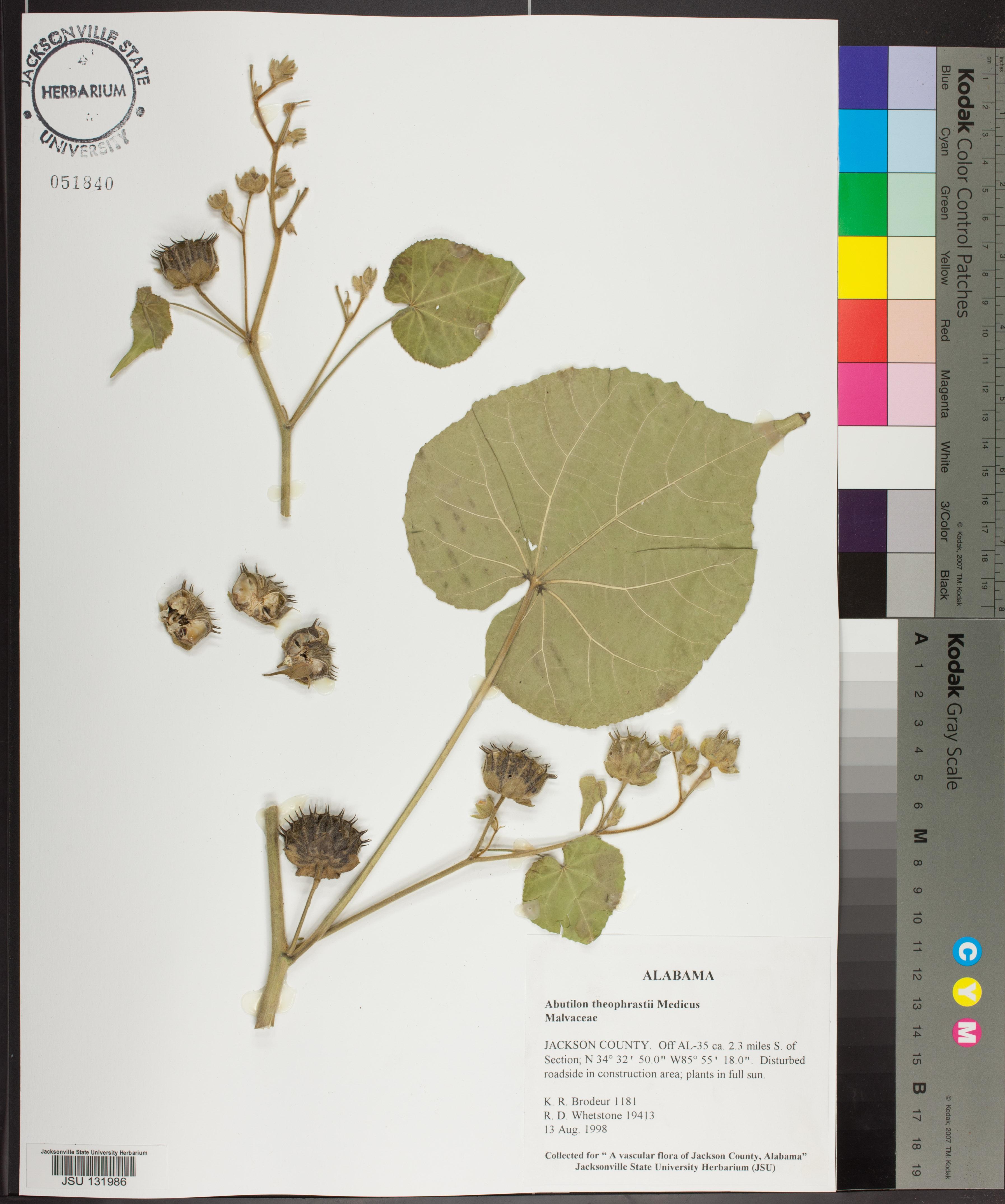 Abutilon Theophrasti Species Page Apa Alabama Plant Atlas