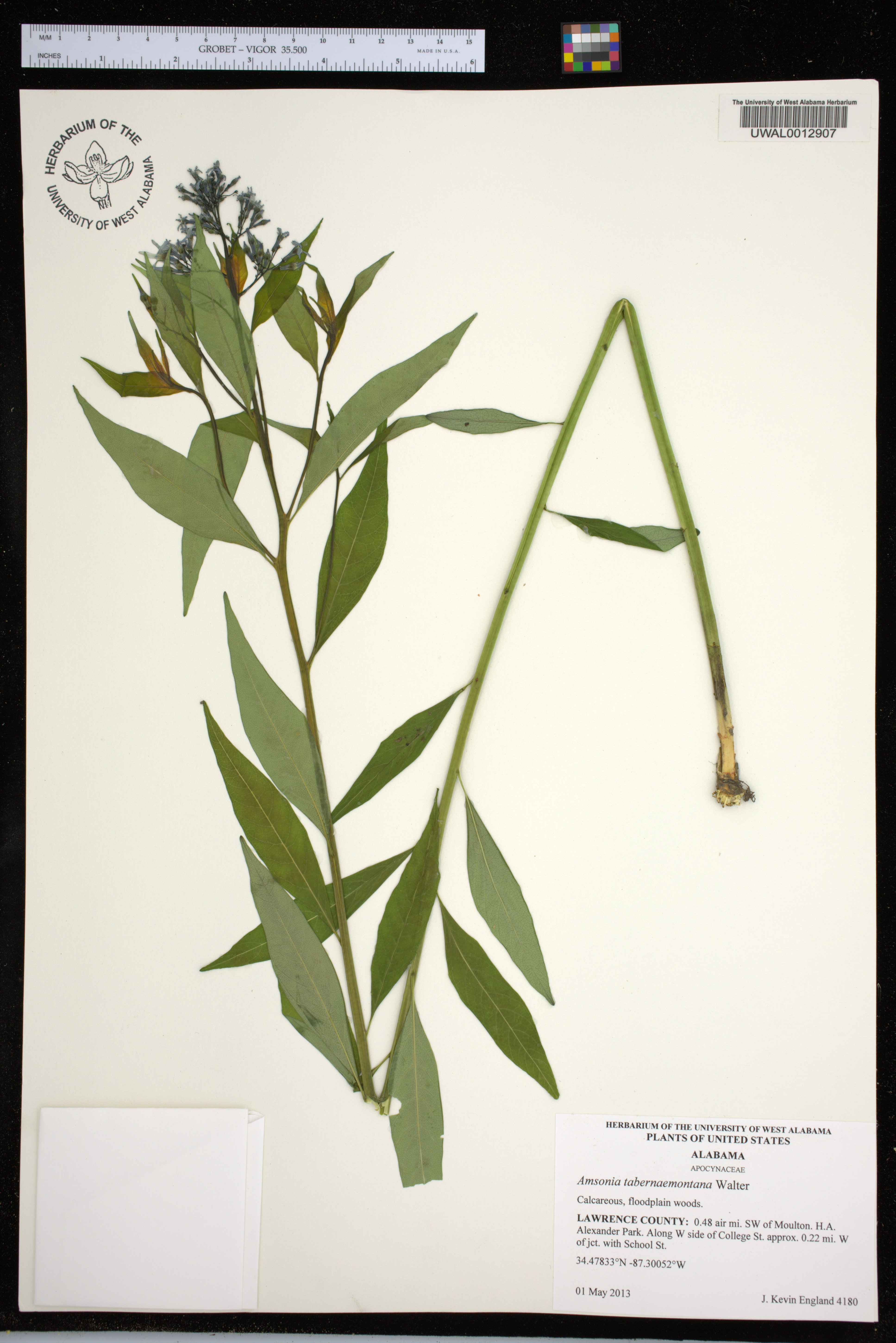 Amsonia tabernaemontana - Species Page - APA: Alabama Plant
